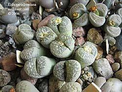 Живой камень